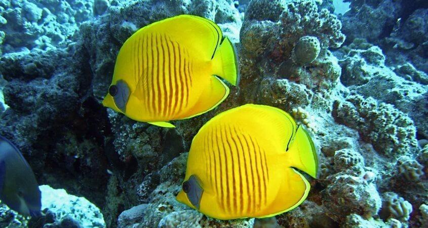 Ronjenje u Crvenom moru, žute ribice